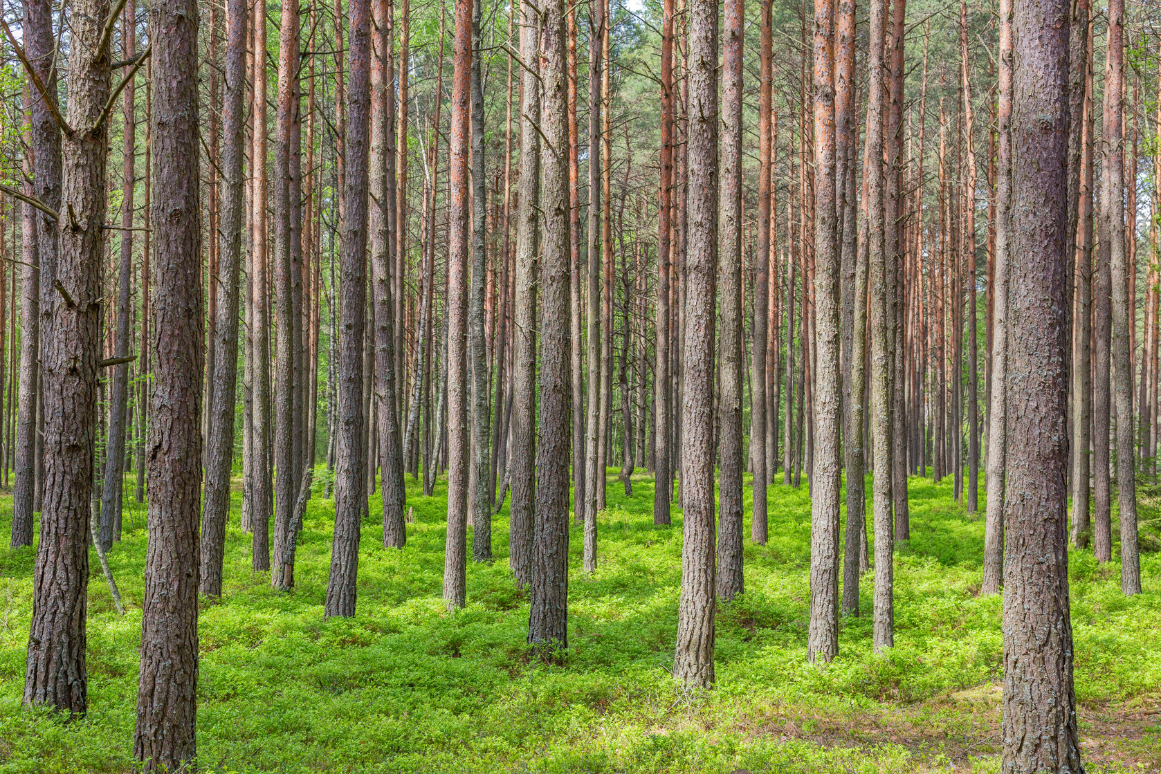45397567 - pine trees in the forest green trees summer